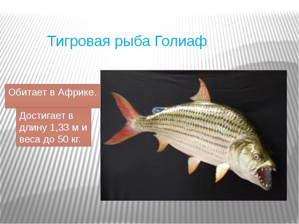 Тигровая рыба Голиаф Обитает в Африке. Достигает в длину 1,33 ми веса до 50...