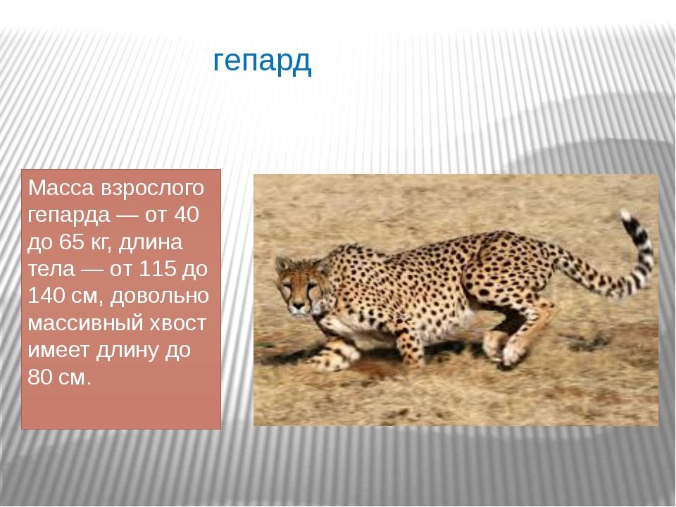 гепард Масса взрослого гепарда — от 40 до 65 кг, длина тела — от 115 до 140 с...