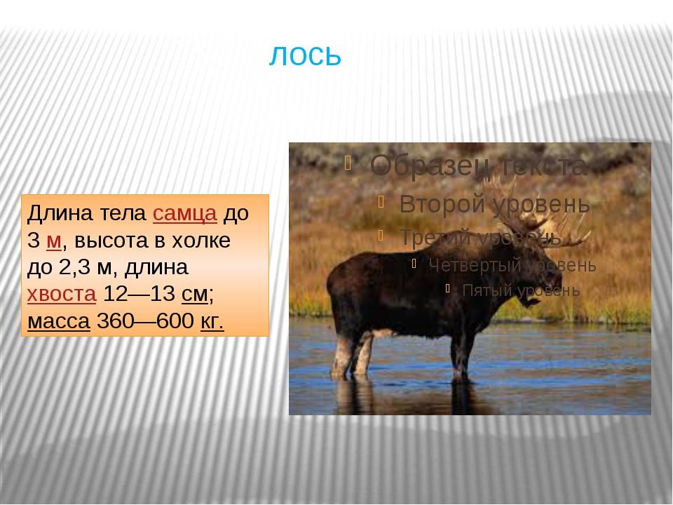 лось Длина теласамцадо 3м, высота в холке до 2,3м, длинахвоста12—13см;...