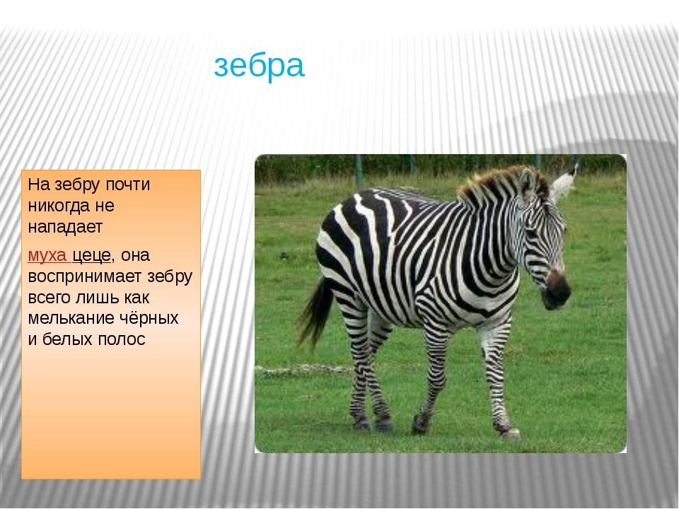 зебра На зебру почти никогда не нападает муха цеце, она воспринимает зебру в...