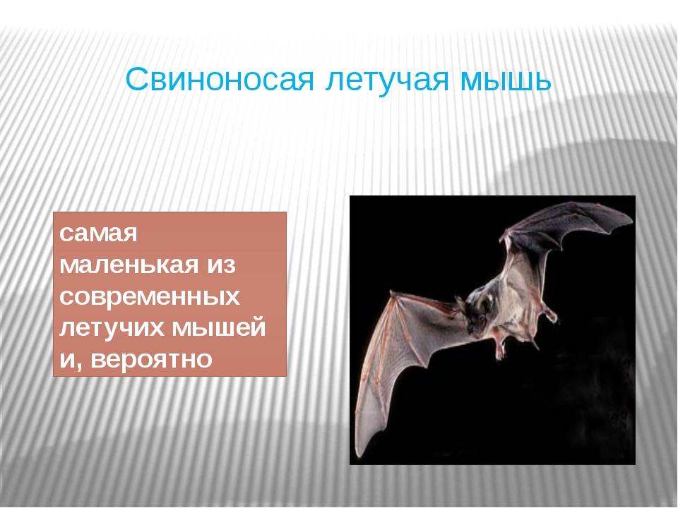 Свиноносая летучая мышь самая маленькая из современных летучих мышей и, вероя...