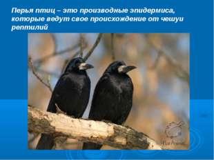 Перья птиц – это производные эпидермиса, которые ведут свое происхождение от