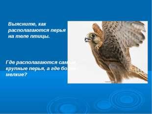 Выясните, как располагаются перья на теле птицы. Где располагаются самые круп