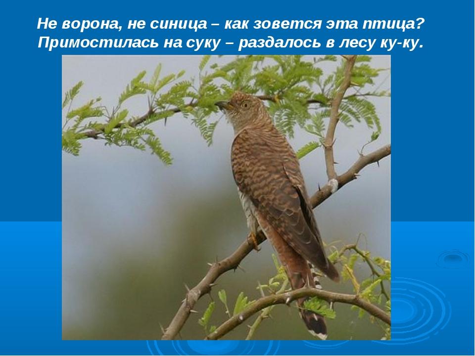 Не ворона, не синица – как зовется эта птица? Примостилась на суку – раздалос...