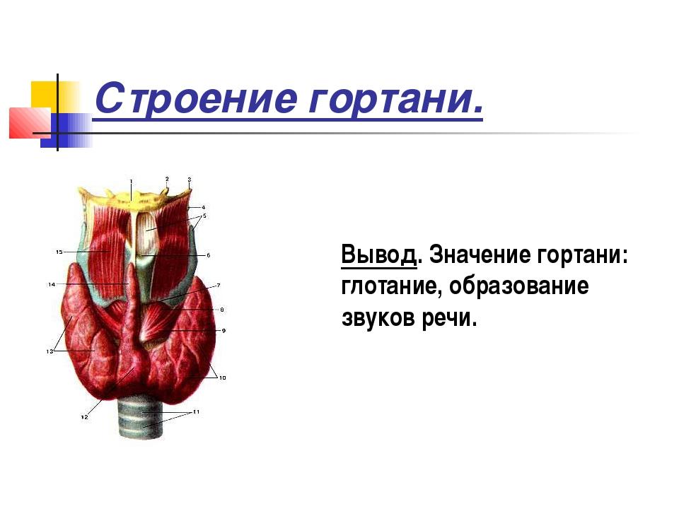 Строение гортани. Вывод. Значение гортани: глотание, образование звуков речи.