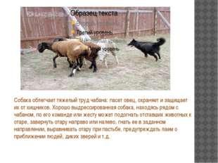 Собака облегчает тяжелый труд чабана: пасет овец, охраняет и защищает их от