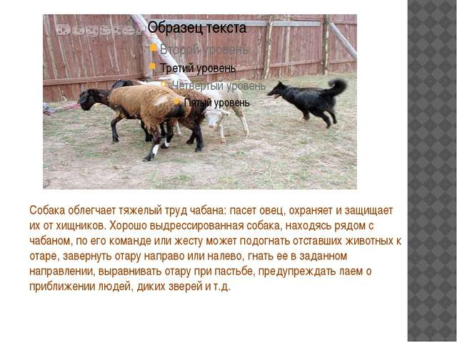 Собака облегчает тяжелый труд чабана: пасет овец, охраняет и защищает их от...