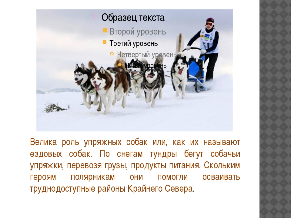 Велика роль упряжных собак или, как их называют ездовых собак. По снегам тун...