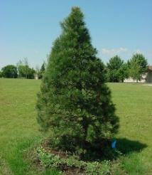 pine_tree-11921