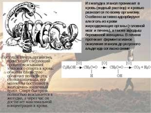 Поступая внутрь организма, происходит следующий процесс всасывания этилового