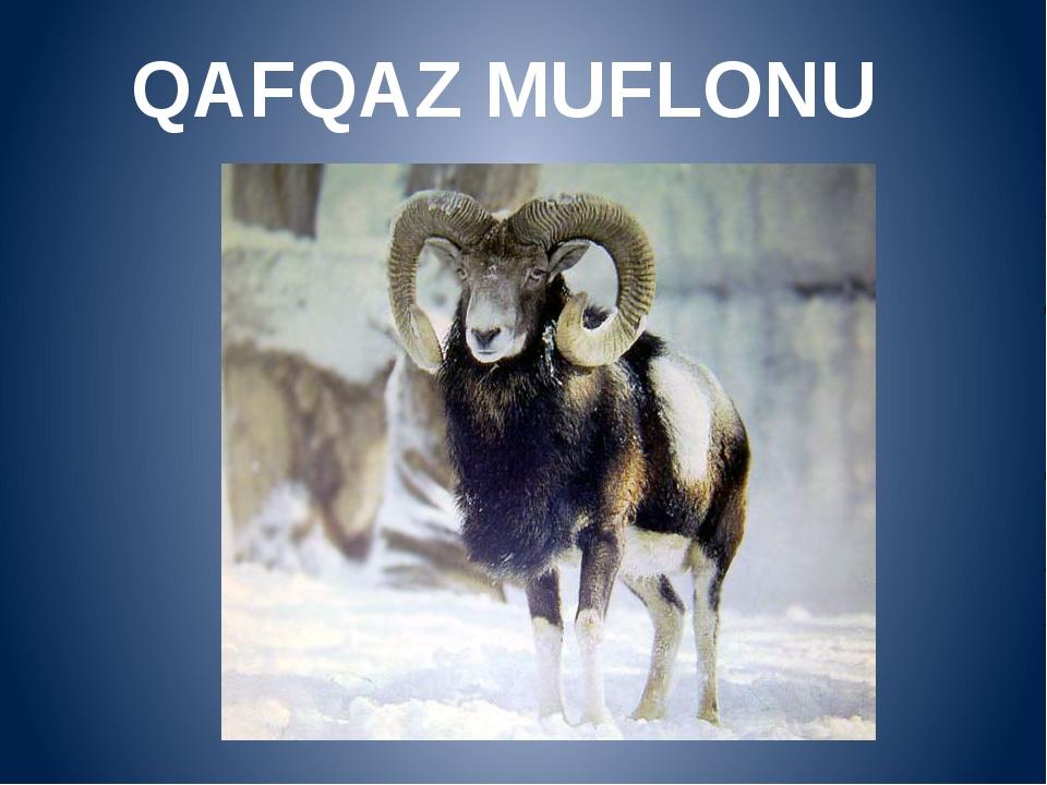 QAFQAZ MUFLONU