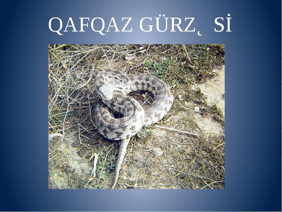 QAFQAZ GÜRZƏSİ