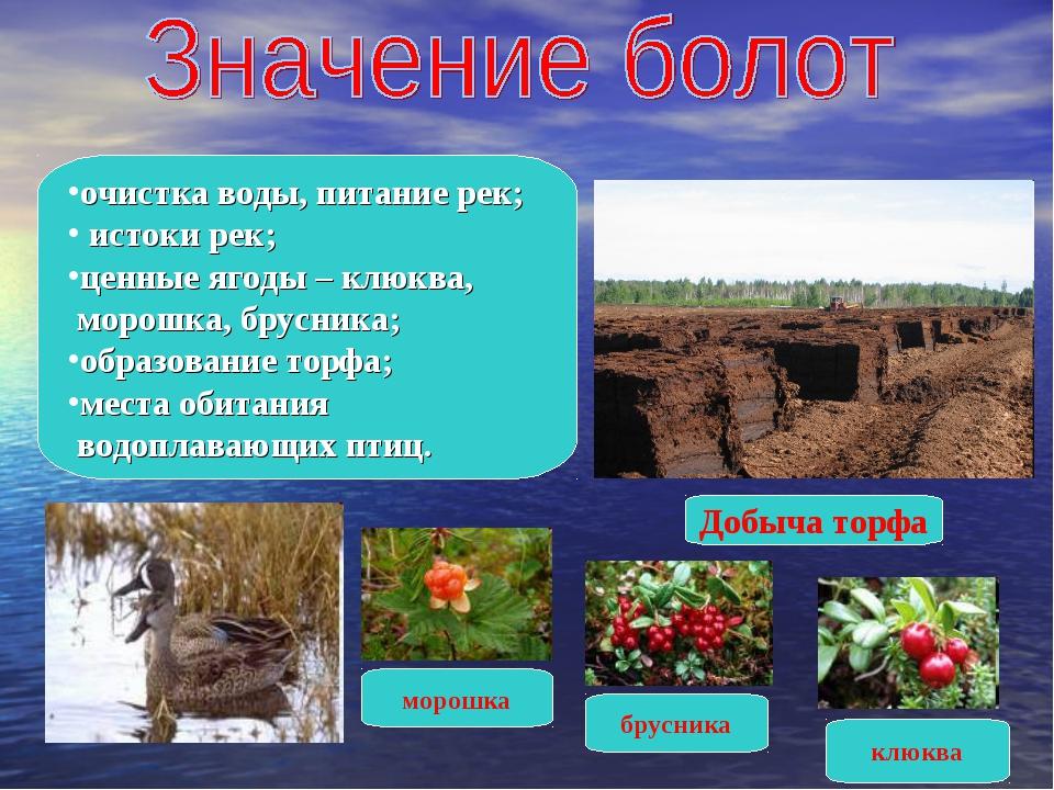 очистка воды, питание рек; истоки рек; ценные ягоды – клюква, морошка, брусн...
