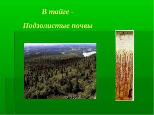 В тайге - Подзолистые почвы