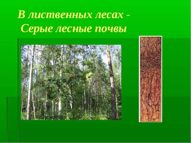 В лиственных лесах - Серые лесные почвы
