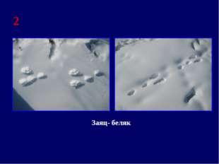 2 Заяц- беляк