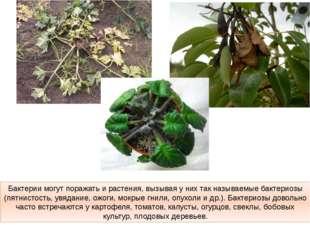 Бактерии могут поражать и растения, вызывая у них так называемые бактериозы (