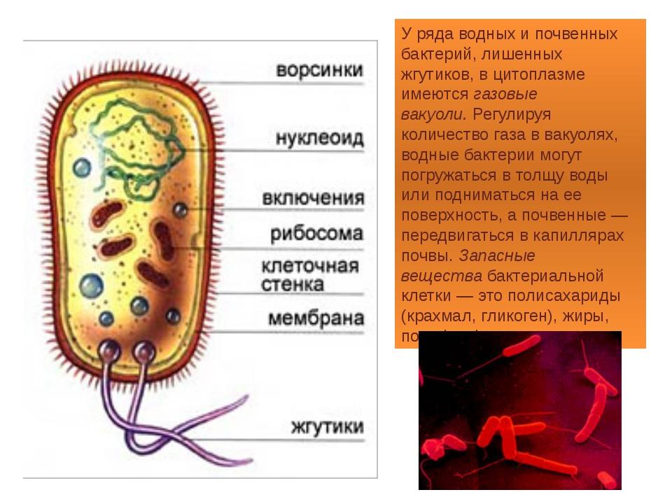 У ряда водных и почвенных бактерий, лишенных жгутиков, в цитоплазме имеютсяг...
