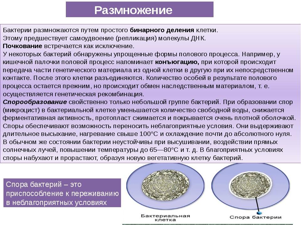 Бактерии размножаются путем простого бинарного деления клетки. Этому предшест...