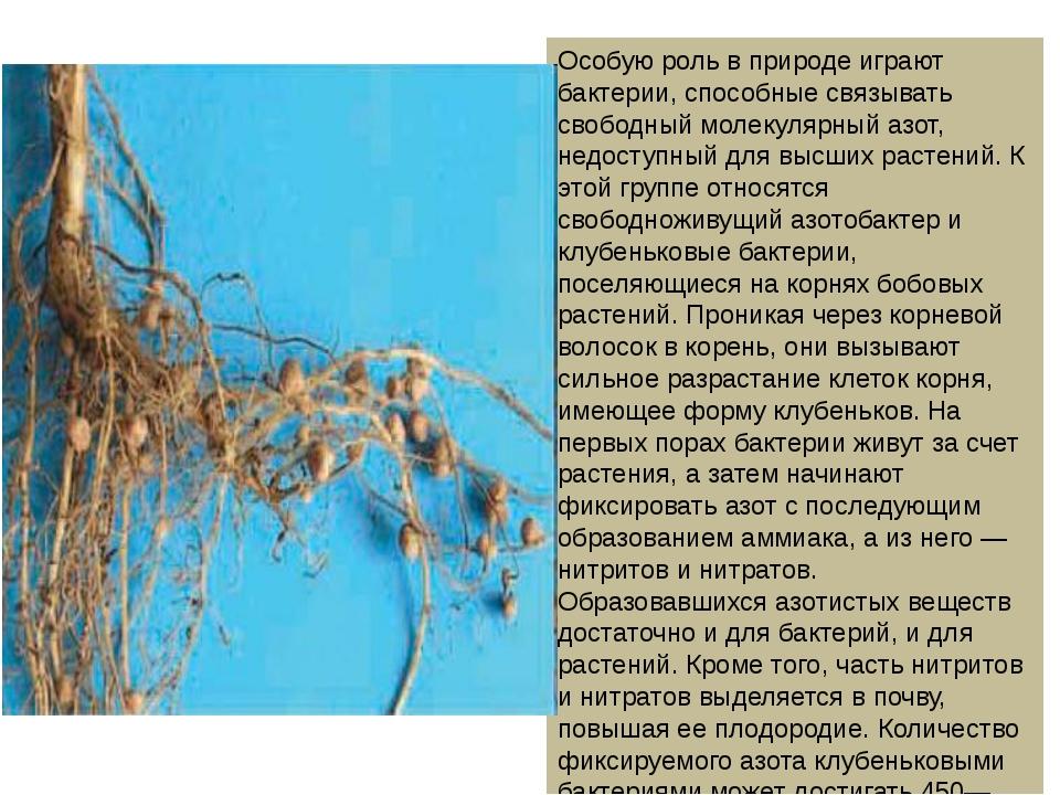 Особую роль в природе играют бактерии, способные связывать свободный молекуля...