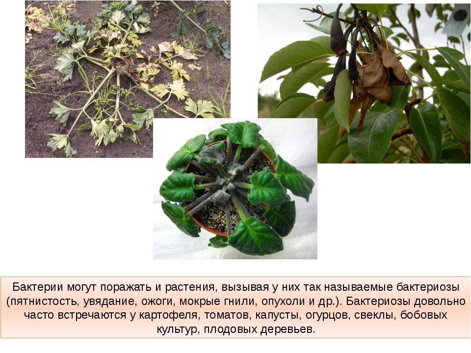 Бактерии могут поражать и растения, вызывая у них так называемые бактериозы (...