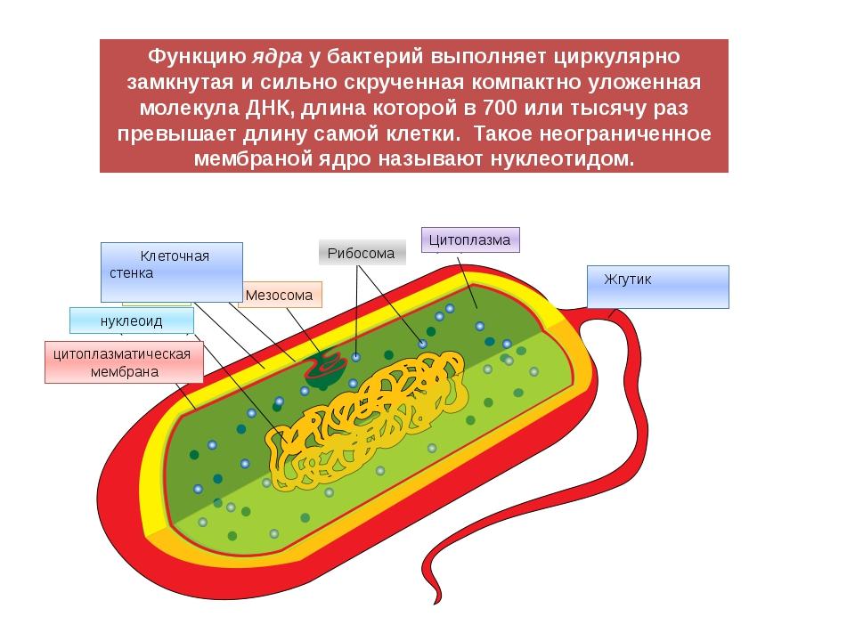 цитоплазматическая мембрана нуклеоид капсула Мезосома Рибосома Цитоплазма Жгу...