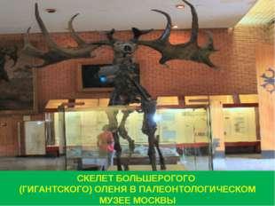 СКЕЛЕТ БОЛЬШЕРОГОГО (ГИГАНТСКОГО) ОЛЕНЯ В ПАЛЕОНТОЛОГИЧЕСКОМ МУЗЕЕ МОСКВЫ
