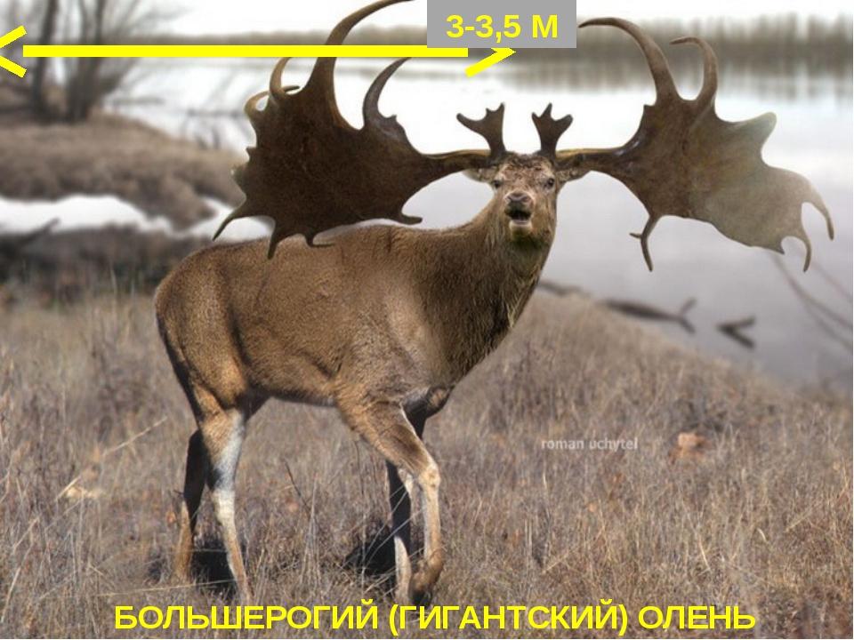 БОЛЬШЕРОГИЙ (ГИГАНТСКИЙ) ОЛЕНЬ 3-3,5 М