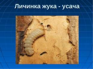 Личинка жука - усача