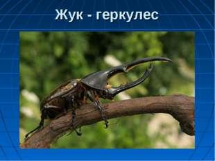 Жук - геркулес