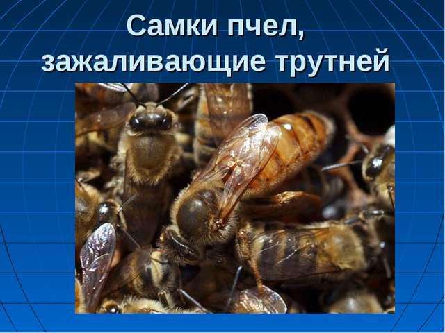 Самки пчел, зажаливающие трутней