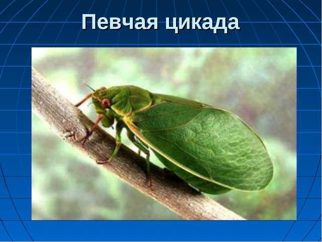 Певчая цикада