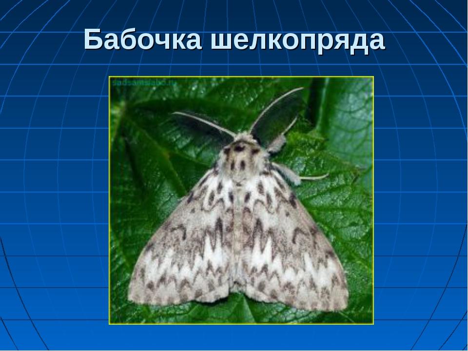 Бабочка шелкопряда