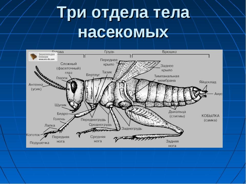 Три отдела тела насекомых
