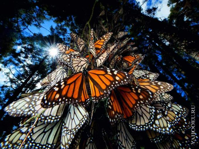 Монарх - бабочка 2.jpg
