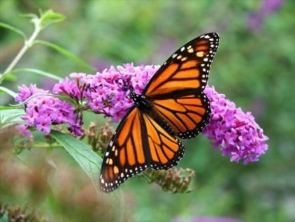Монарх - бабочка.jpg