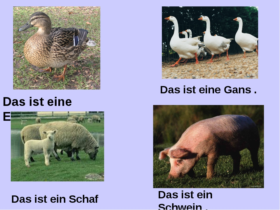 Das ist eine Ente . Das ist ein Schwein . Das ist ein Schaf Das ist eine Gans .