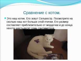 Сравнение с котом. Это наш котик. Его зовут Сельвестр. Посмотрите на сколько