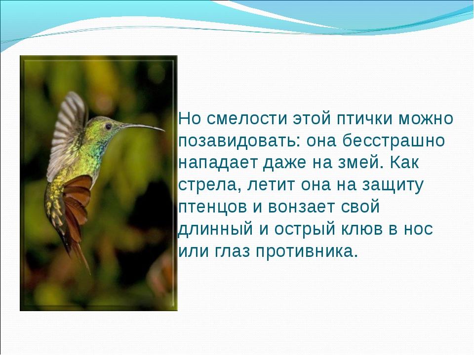 Но смелости этой птички можно позавидовать: она бесстрашно нападает даже на з...