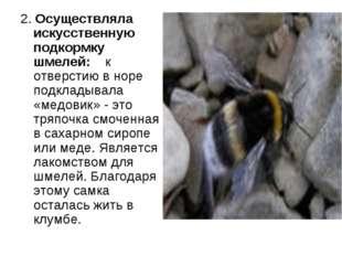 2. Осуществляла искусственную подкормку шмелей: к отверстию в норе подкладыва