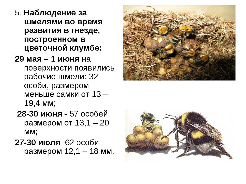 5. Наблюдение за шмелями во время развития в гнезде, построенном в цветочной...