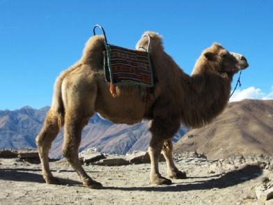 C:\Users\Owner\Desktop\мои работы\animals - Copy (2)\Bactrian-Camel.jpg