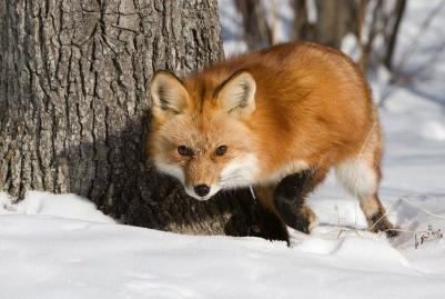 C:\Users\Owner\Desktop\мои работы\animals - Copy (2)\92359962_fox_20120409_00640_041.jpg