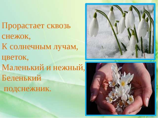 Прорастает сквозь снежок, К солнечным лучам, цветок, Маленький и нежный, Беле...