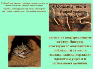 Злейший враг ящериц – рогатая гадюка, скользя по пескам, оставляет за собой п
