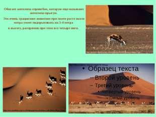 Обитает антилопа спрингбок, которую еще называют антилопа-прыгун. Это очень г