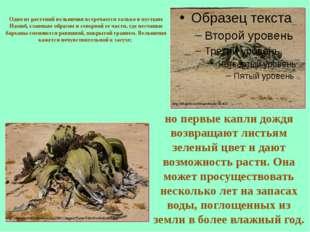 Одно из растений вельвичия встречается только в пустыне Намиб, главным образо
