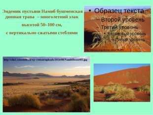 Эндемик пустыни Намиб бушменская дюнная трава – многолетний злак высотой 50–