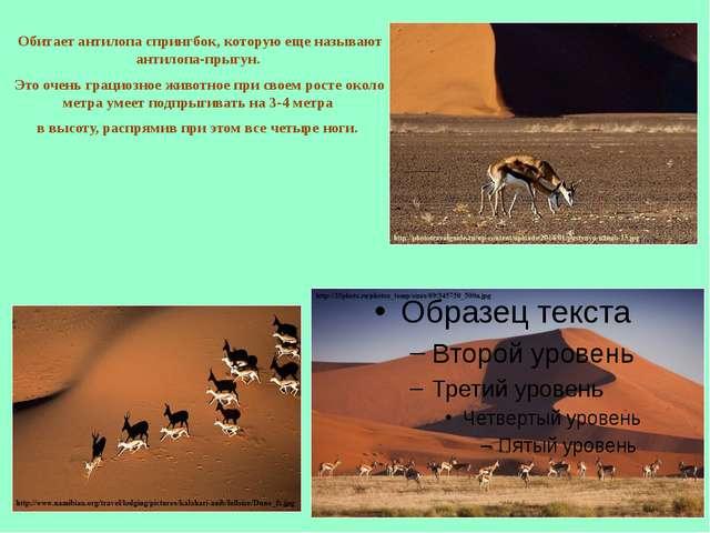 Обитает антилопа спрингбок, которую еще называют антилопа-прыгун. Это очень г...