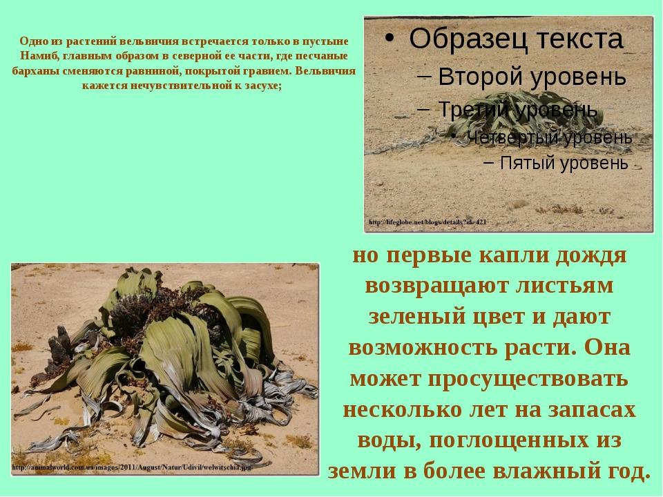 Одно из растений вельвичия встречается только в пустыне Намиб, главным образо...